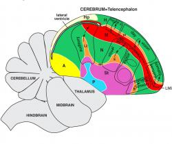 The image shows the revised map of the bird brain.