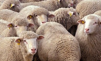 This image shows a flock of sheep.