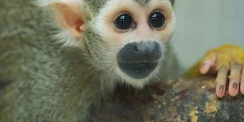 This is a squirrel monkey.