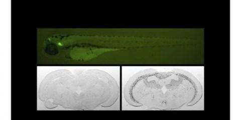 The image shows elecrophysiology slides of the zebrafish.