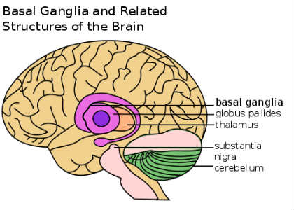 This is a diagram of the brain with the basal ganglia labelled.