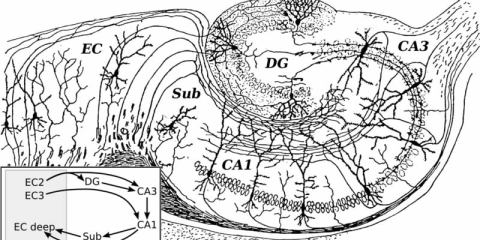 This is Santiago Ramón y Cajal's drawing of the hippocampus.