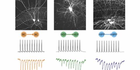This image shows how the hippocampal slices responded to electrical stimulation.