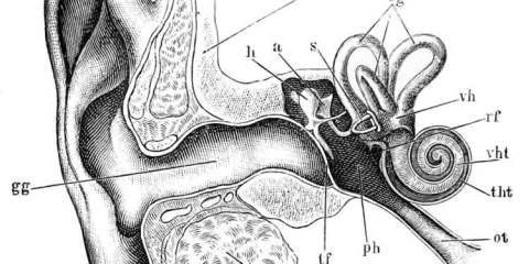This image shows an anatomical drawing of the ear and vestibula system.