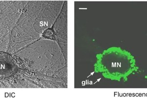 The image shows ApHTT mRNA expression in Aplysia sensory neurons.