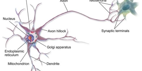 This image is a labelled diagram of a neuron.