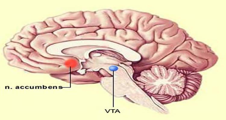 Researchers discover new type of neuron that plays key role in this image shows the position of the nucleus accumbens and ventral tegmental area vta ccuart Images