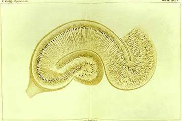 This is a drawing by Camillo Golgi of a hippocampus stained using the silver nitrate method.