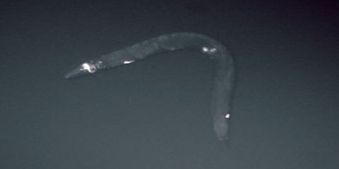 This is a roundworm.