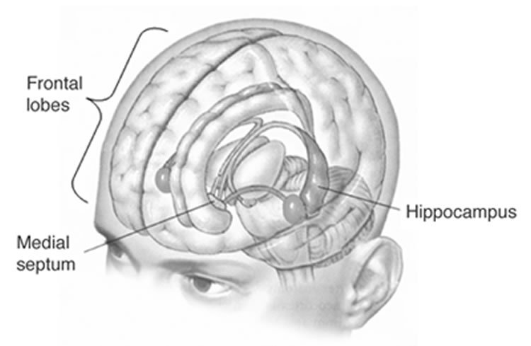 This illustration shows the location of the frontal lobes and hippocampus in the human brain.