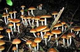 Image shows Psilocybe allenii mushrooms.