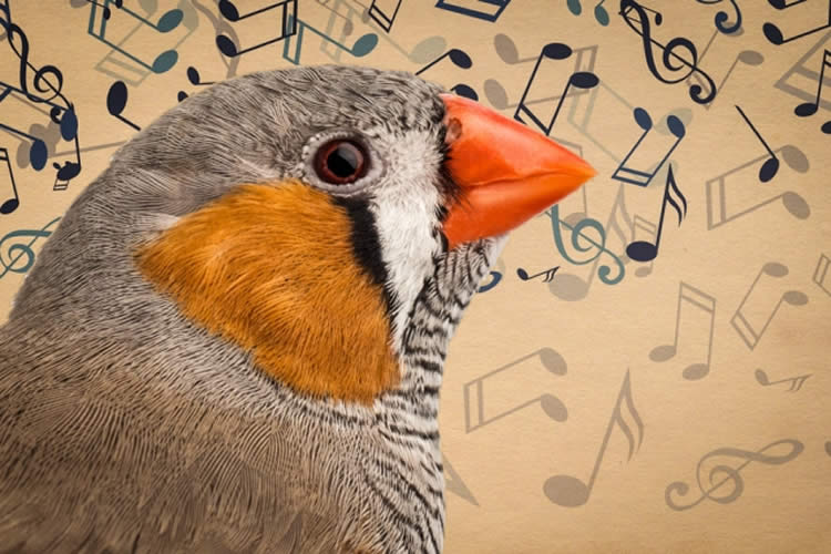 Image of a zebra finch and musical notes.