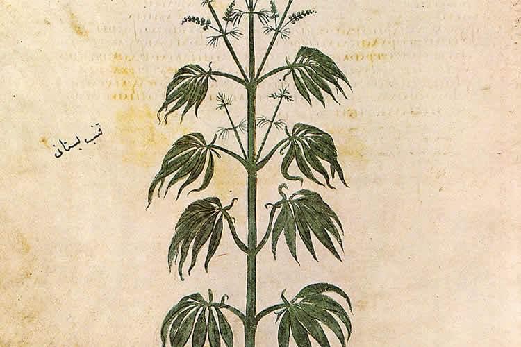 Image shows a Cannabis sativa plant.