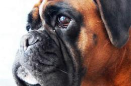 Image shows a boxer dog.