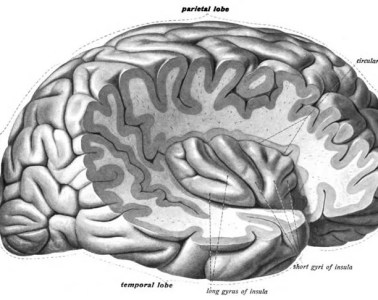 Image shows the location of the insula cortex in the brain.