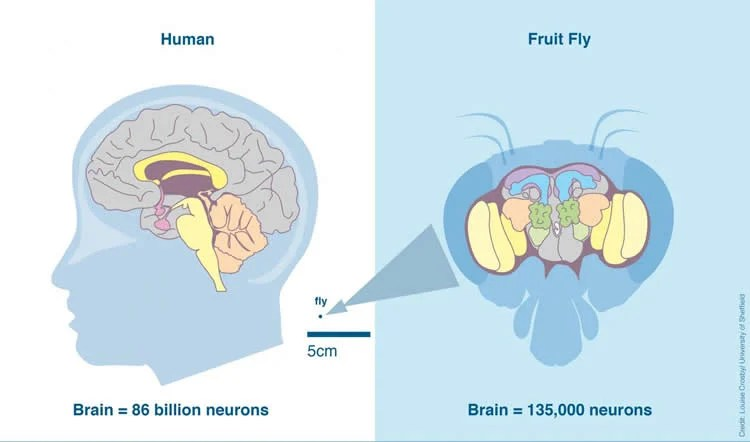 Image shows a diagram of a fly brain.