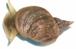 Image shows a freshwater snail.