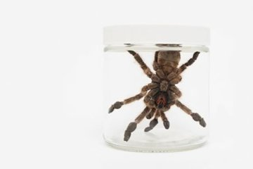 Image shows a West African tarantula.