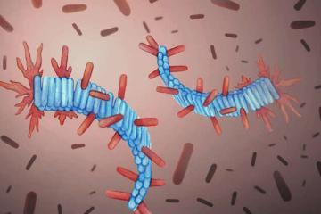 amyloid fibrils.