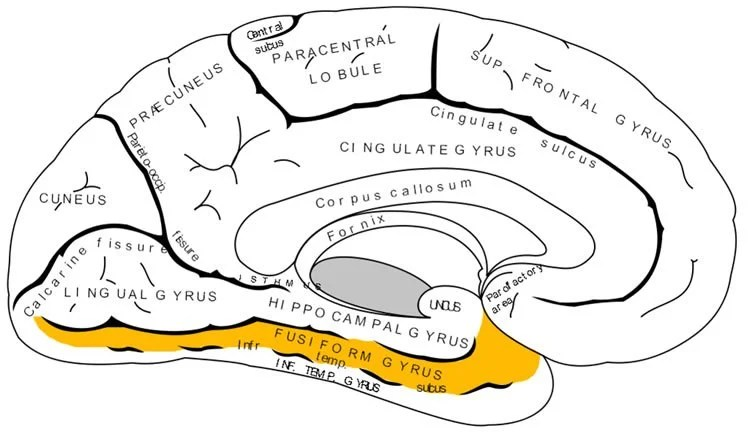 Image shows a brain with the fusiform gyrus highlighted.