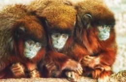 Image shows 3 Titi monkeys.