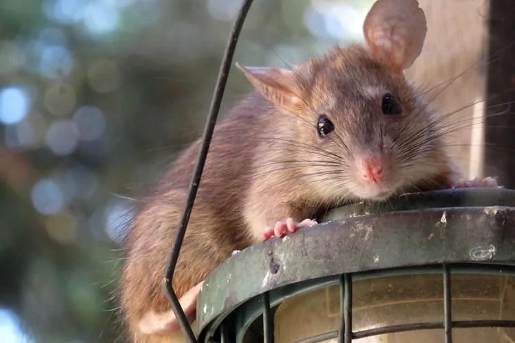 Image shows a cute rat.