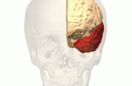 Image shows shows the location of the temporal lobe in the human brain.