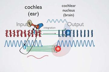 Diagram of the auditory system.