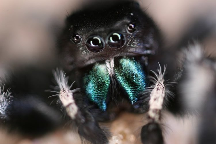 Image shows a jumping spider.