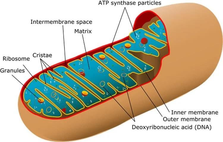 Image shows a diagram of mitochondria.