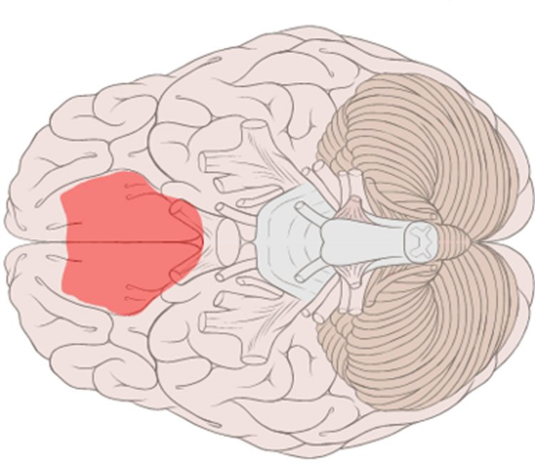 Image shows the location of the ventromedial prefrontal cortex in the brain.