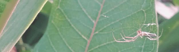 Long-jawed orbweaver