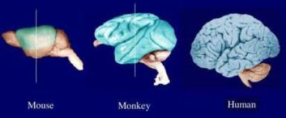 mammalian neocortex
