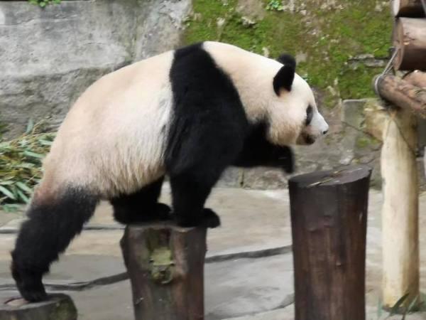 中國贈高雄市一對熊貓。 圖片來源:華視