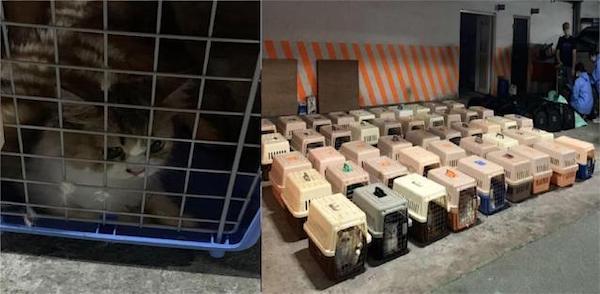 海巡署查獲154隻走私貓,全部人道毀滅。 圖片來源:雅虎奇摩