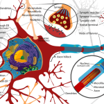 500px Complete neuron cell diagram en.svg  150x150 Live Human Fusion Webinar with Simeon