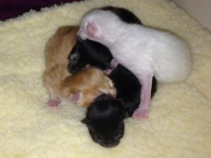 Rue & her siblings loved to sleep in a pack. Her litter mates included a flame point, red, and torbie.