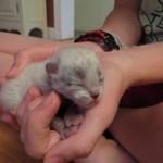 newborn kitten, siberian