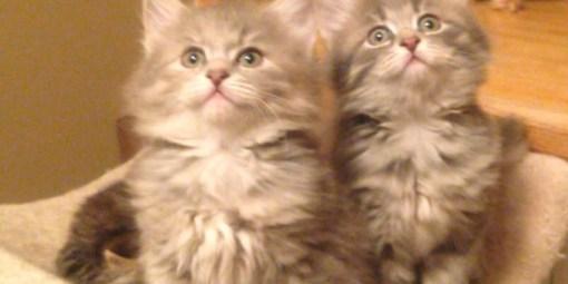 Low allergen siberian cats