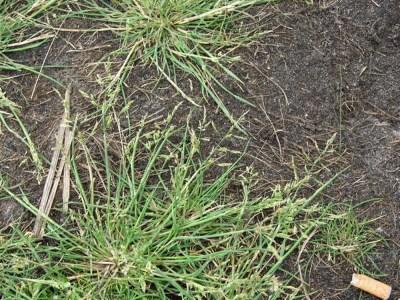 Puccinellia distans (spreading alkali grass): Go Botany