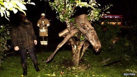 Drunken moose stuck in tree, Saro, Sweden, 6 September 2011