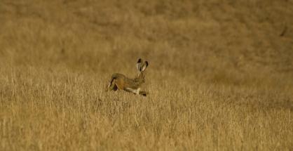 Iberian Hare by Pedro Moreira, 2009