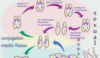 paramecium-life-cycle