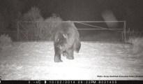 Brown bear. Photo: Sergey Gashchak (Chornobyl Centre, Ukraine)