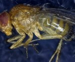 A deceased Drosophila melanogaster. Image credit: Institute for Cell Biology, University of Bern