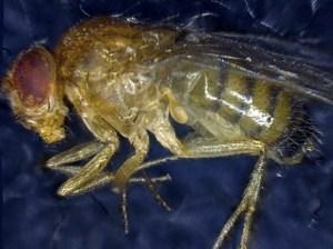 A deceased Drosophila melanogaster. Image credit: Institute for Cell Biology, University of Bern
