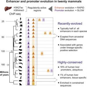 Enhancer Promoter Evolution