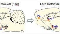 brain recalls memory
