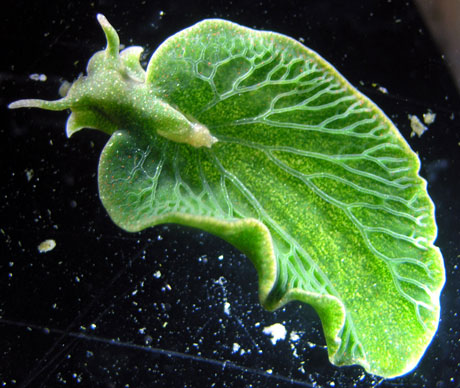 The rich green color of the photosynthesizing sea slug, Elysia chlorotica, helps to camouflage it on the ocean floor.  Image credit: Patrick Krug
