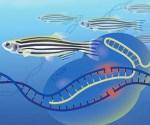 NHGRI scientists are homing in on specific genes in zebrafish to help them better understand the function of genes in people. Image Credit: Darryl Leja, NHGRI/NIH